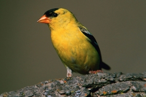 A photo of a American Goldfinch bird.