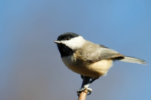 A photo of a Black Capped Chickadee bird.