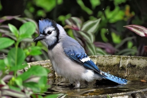 A photo of a Blue Jay bird.