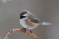 A photo of a Boreal Chickadee bird.