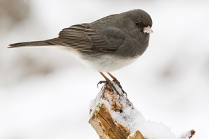 A photo of a Dark Eyed Junco bird.