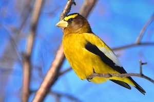 A photo of a Evening Grosbeak bird.