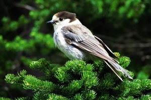 A photo of a Gray Jay bird.