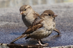 A photo of a House Sparrow bird.