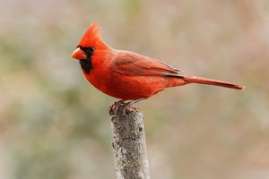 A photo of a Northern Cardinal bird.