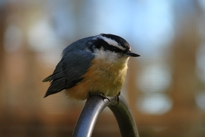 A photo of a Red Breasted Nuthatch bird.