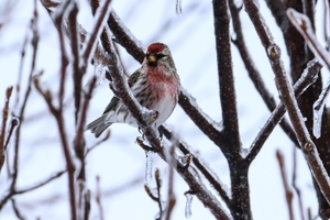A photo of a Red Poll bird.