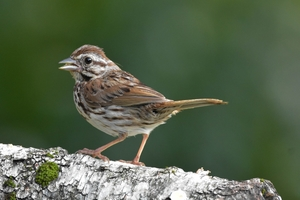 A photo of a Song Sparrow bird.