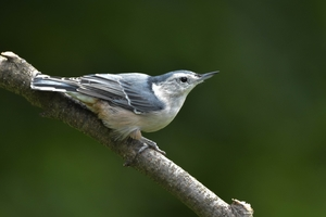 A photo of a White Breasted Nuthatch bird.