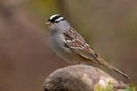 A photo of a White Crowned Sparrow bird.